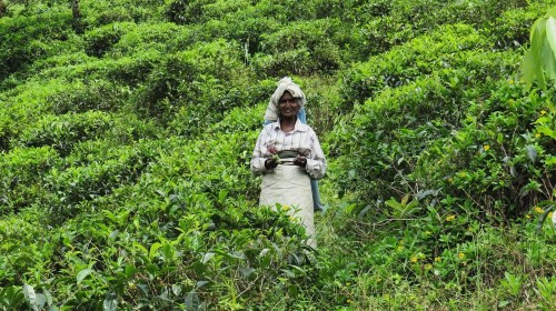 Backpacking Sri Lanka Ella Tea Fields