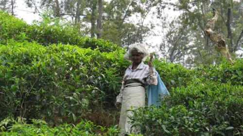 Travel guide to Sri Lanka Ella Town Tea plantations tea fields